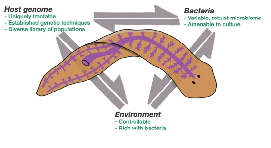Model of the planarian flatworm its benefits as a research animal